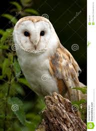 Barn Owl (Tyto Alba) - United Kingdom Stock Photos - Image: 15290143 This Galapagos Barn Owl Lives With Its Mate On A Shelf In The Baby Barn Owl Owls Pinterest Bird And Animal Magic Tito Alba Sitting On Stone Fence In Forest Barnowl Real Owls Echte Uilen Wikipedia Secret Kingdom Young Tyto Roost Stock Photo 206862550 Shutterstock 415 Best Birds Mostly Uk Images Feather Nature By Annette Mckinnnon 63 2 30 Bird Great Grey