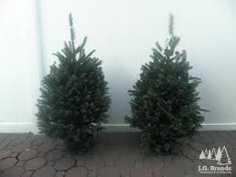 Balsam Christmas Trees by J G Brands Christmas Tree Sales Inc New York