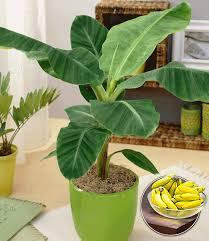 musa banana tropicana 1a qualität kaufen baldur