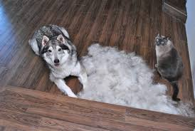huskies on a farm dogs and cats forum at permies