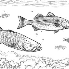 Largemouth Basses Coloring Page Free Printable Pages