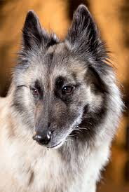 What Dog Sheds The Most by Belgian Tervuren Dog Breed Information Pictures Characteristics