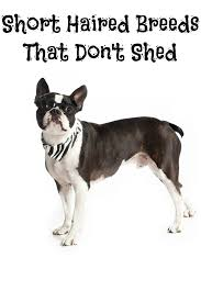 Best House Dogs That Dont Shed by Short Haired Breeds That Don U0027t Shed Dogvills