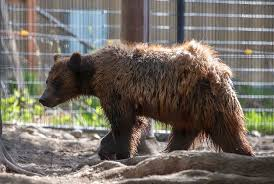 Although Featured On The State Flag Of California Very Few Grizzly Bears Remain In Contiguous United States Today