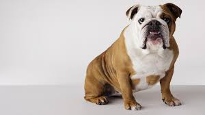 Non Shedding Dog Breeds Big by Dog Breeds To Avoid If Your Kids Have Allergies