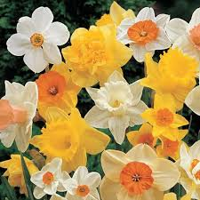 buy daffodils premium daffodil bulbs