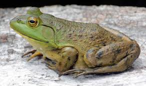 American Bullfrog | Frogs | Pinterest | Frogs, Amphibians And Reptiles Eliminate Toads Tips On How To Get Rid Of Garden The Frog Whisper Folks 3 Frogs In A Pile My Backyard Pond By Debbie Pinard Redbubble Build A American Green Tree Frog Wikipedia And Toad San Diego Zoo Animals Plants Little Sewing Shop Lapbook Unit Study Frogfriendly Golf Course Ponds Science 20 Ducks Bunnies Oh Yes Crows Minnesota Prairie Roots My Backyard Pond Caudataorg In Fasci