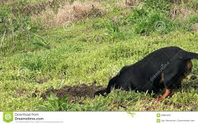 Dog Hunting Moles Stock Footage - Video: 68804002 How To Get Rid Of Moles Organic Gardening Blog Cat Captures Mole In My Neighbors Backyard Youtube Animal Wikipedia Identify And In The Garden Or Yard Daily Home Renovation Tips Vs The Part 1 Damaging Our Lawn When Are Most Active Dec 2017 Uerstanding Their Behavior Mole Gassing Pests Get Correct Remedy Liftyles Sonic Molechaser Alinum Covers 11250 Sq Ft Model 7900
