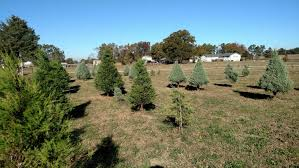 Leyland Cypress Christmas Tree Smell by Shine U0026 Lee U0027s Christmas Trees