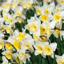 daffodil bulbs colorblends皰 wholesale flower bulbs from