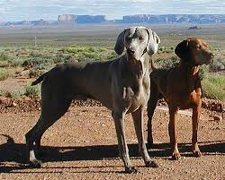 Vizsla Dog Breed Shedding by Back To Basics A Comparison Of The Vizsla And The Weimaraner Petcha