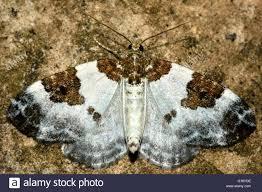 British Carpet by Blue Bordered Carpet Moth Plemyria Rubiginata British Insect In
