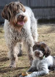 Do Wirehaired Vizslas Shed by 5 Things You Didn U0027t Know About The Wirehaired Pointing Griffon