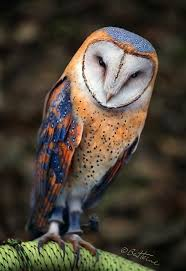 4721 Best Owly 's Thing Images On Pinterest | Beautiful Birds ... Barn Owl Eating Mouse Sussex Uk Tyto Alba Stock Photo Royalty Bird Of The Month Owl Barn A Free Image 51931121 How To Attract Owls Your Yard 1134 Best Birdsstrigiformesowls Images On Pinterest Wikipedia Facts Pictures Diet Breeding Habitat Behaviour Eating Picture And 1861 Owls Snowy Saw Whets Chick Raptor Conservancy Virginia Baby And Animal