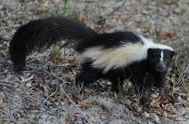 √ How Do You Get Rid Of Skunks In Your Backyard, Get Rid Of Moles ... How To Get Rid Of Skunks From Under A Shed Youtube Rabbits Identify And Rid Garden Pest Of And Prevent Infestation With Professional Skunk In Backyard Outdoor Goods To Your Yard Quick Ideas Image Beasts Diggings Droppings Moles Telegraph Mole Removal Skunk Control Treatments Repellent For The Home Yard Garden Odor What Really Works Pics On Extraordinary Affordable Wildlife Control Toronto Raccoon Squirrel Awesome A Wliinc