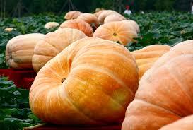 Atlantic Giant Pumpkin Taste by The Ultimate Guide To Pumpkin Types And Varieties