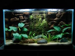 Extra Large Aquarium Decorations by Live Plants In Aquariums A Fish Guide Pethelpful