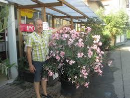 laurier en pot de 55cm www jardinerie jean gerard fr