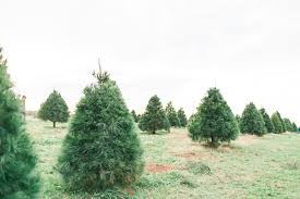 Balsam Christmas Trees Real by Cutting Down Our First Real Christmas Tree At Eckert U0027s Farm