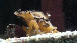 decorator crabs eat fish decorator crab naxia tumida crustacean