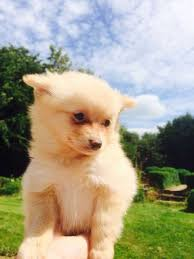 Do Bichon Pomeranians Shed by Cute Teddy Bear Puppies Pictures