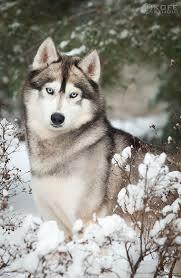 do huskies or malamutes shed more husky siberiano é perito em escapar de predadores e tem uma