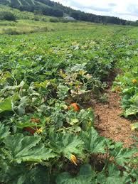 West Produce Pumpkin Patch Fayetteville Nc by Ashe County Corn Maze And Pumpkin Festival