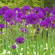 purple sensation allium late garden michigan bulb