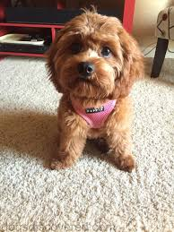 Cavapoos Do They Shed by Shih Poo Dogs Discovered Com