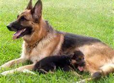 belgian malinois vs dutch shepherd german shepherd dog belgian