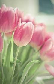 Tulips in bloom Flower Pinterest