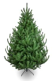 Flocked Christmas Trees Uk by The Mountain Pine Tree 4ft To 14ft