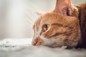 renal failure in cats kidney failure in cats savetshops
