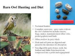 Using Owl Pellets To Illustrate Energy Transfer From Prey To ... Barn Owl Looking Over Shoulder Perched On Old Fence Post Stock Eccles Dinosaur Park Carnivore Carnival The Salt Project Barn Moving Head Side To Slow Motion Video Footage 323 Best Owls Images Pinterest Owls Children And Free Images Wing White Night Animal Wildlife Beak Predator 189 Beautiful Birds Sat A Falconers Glove Photo Royalty Image Paris Owl 150 Pictures Snowy More
