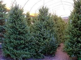 Ergle Christmas Tree Farm Dade City Hernando County Florida