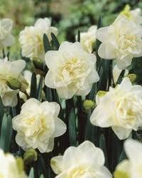 daffodil bridal crown daffodils bridal crown