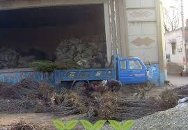 100 Seedling Truck Chun Date PlantChun Date SWEET JUJUBE PLANTS
