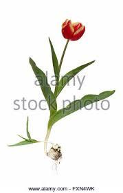 apeldoorn elite tulips tulipa apeldoorn elite stock photo