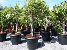 feigenbaum hell und dunkel in 1 topf obstbaum winterhart ficus carica feige