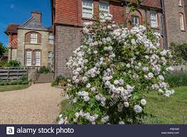 100 Www.home And Garden A White Rose Bush At Standen House And S Stock Photo