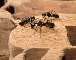 Types of Ants in New England