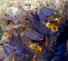 Decorator Crab Tank Mates by Saltwater Aquarium Crabs Crabs Marine Aquarium Crabs