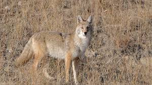 Best Hunting Dogs That Dont Shed by When Is The Best Time To Call Coyotes Foremost Coyote Hunting