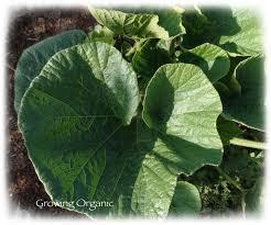 Stages Of Pumpkin Growth by Growing Organic Growing Winter Squash U0026 Pumpkins