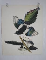 Vintage Audubon Bird Print Magpie Black Cobalt Magenta Chartreuse Decor