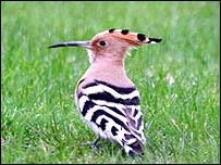 An African Hoopoe Makes A Rare Visit To North Wales After Missing Its Winter Feeding Grounds By Hundreds Of Miles