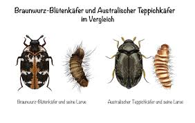 teppichkäfer larven erkennen bekämpfen und vorbeugen