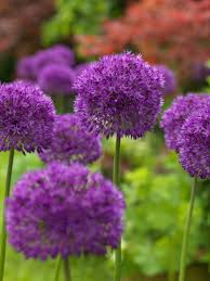 allium purple sensation dutchgrown