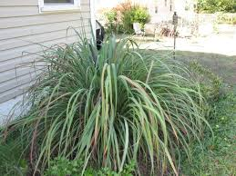 Lemongrass To Help Hide Pool Pump And Keep Mosquitos Away ... 15 Backyard Tiki Torches Torches Citronella Oil And How To Get Rid Of Mosquitoes Mosquito Magnet The Best Ways To Of Naturally Beat The Bite Backyard Mosquitoes Research 6 Plants Keep Bugs Away Living Spaces Creepy 10 Herbs That Repel Bug Zapper Plant Lemongrass As A Natural Way Keep Away Pure 29 Best Images On Pinterest Weird Yet Effective Pest Hacks Thermacell Repellent Patio Lanternmr9w Home Depot 7 Easy Mquitos Dc Squad