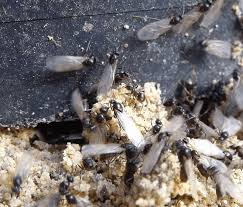 fliegende ameisen wirksam bekämpfen ameisen ratgeber